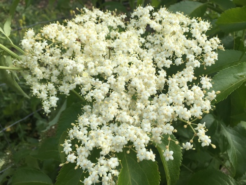 IMG_2869 Elderberry flowers